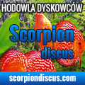 scorpion_discus_hodowla_dyskowcow